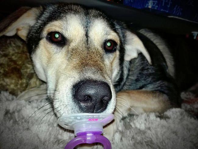 Lilou Chien melange labrador husky Ma Fifille