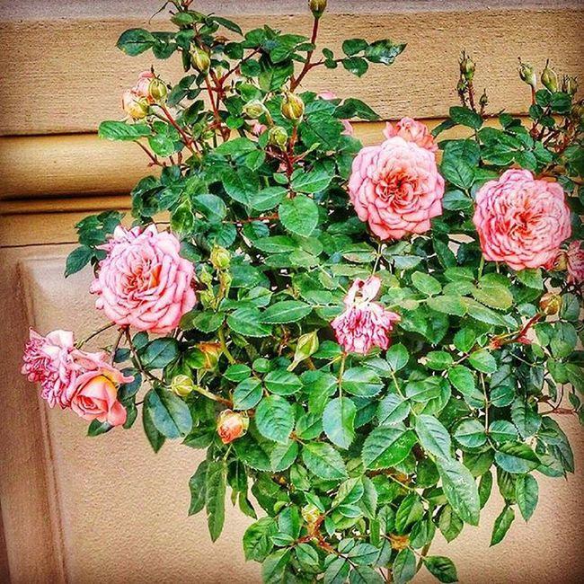 L4l Likeme F4F Follow4follow Followforfollow Likeforlike Like4like Flowers Flower Ukraine Rosé Roses квітка квіти троянда троянди Україна