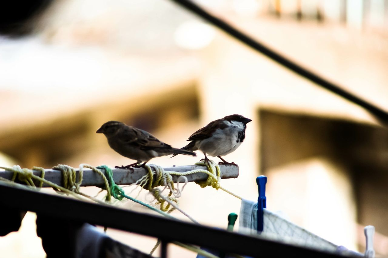 Two Sparrow Perching On Pole