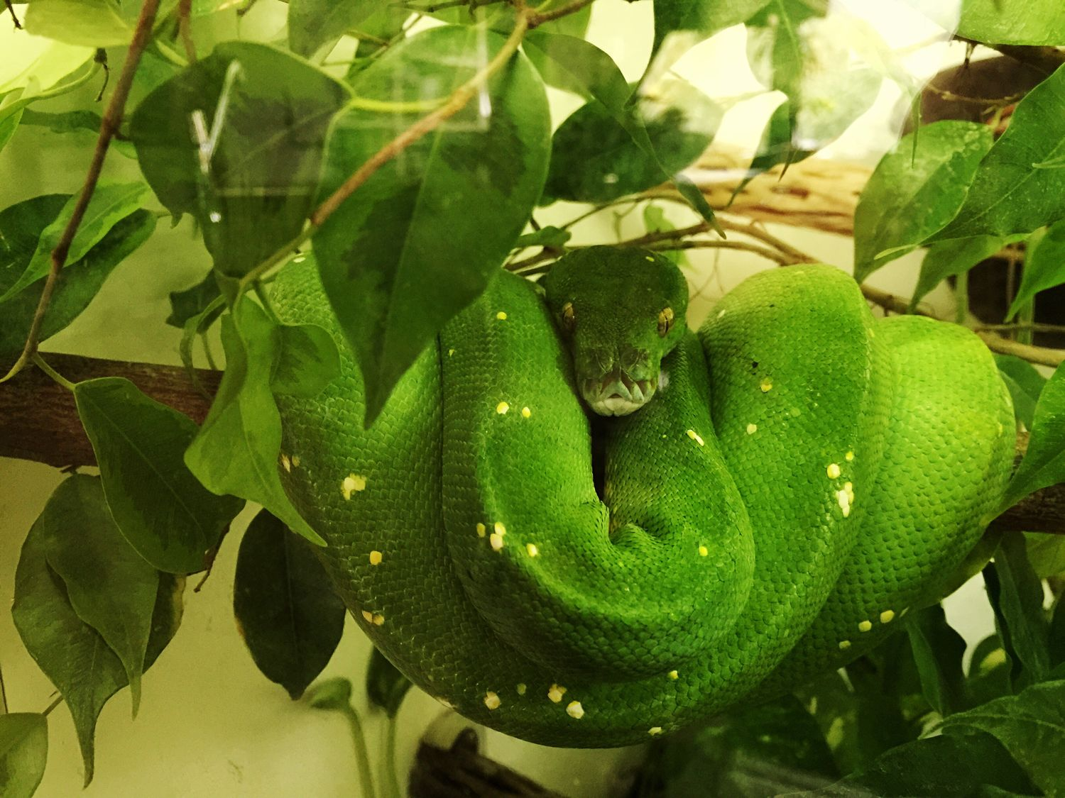 Hanging Out Green Tree Python