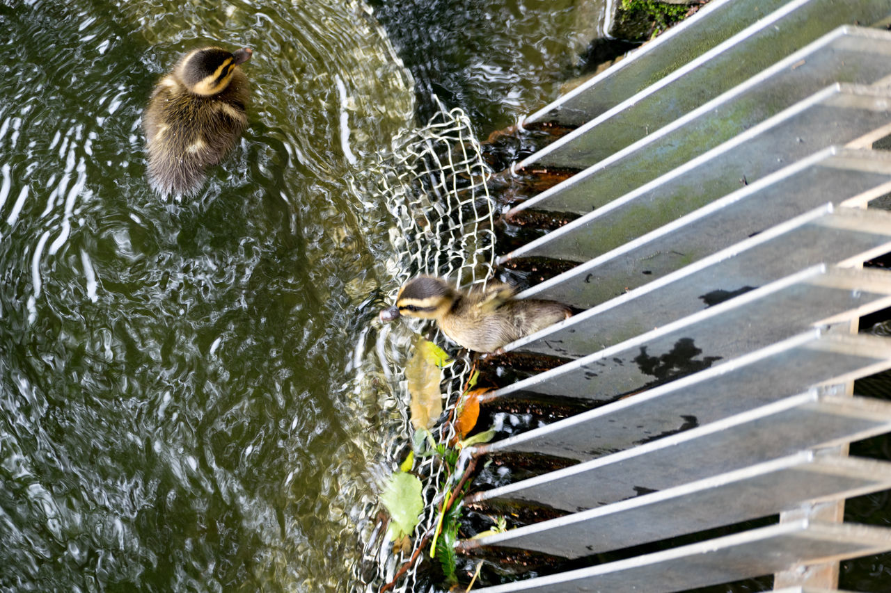 There are young birds who are not crowded.無茶しないヤツもいる。 Animal Themes Animals In The Wild Bird Day Domestic Animals Duckling Lake Mammal Nature No People One Animal Outdoors Swimming Two People Water Young Bird そこそこかわいい 鴨