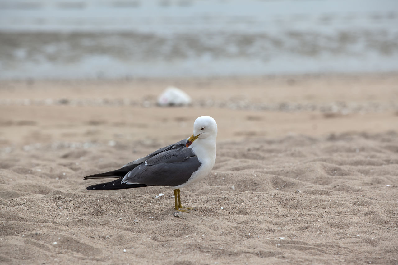 Beach Beauty In Nature Bird Close-up Day Focus On Foreground Island Nature No People Outdoors Sand Sea Gull Selective Focus Shore Single The One Tranquil Scene Tranquility Wild Life