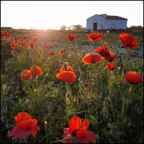 Abundance Beauty In Nature Blooming Botany Day Field Flower Flower Head Fragility Freshness Grass Growth In Bloom Landscape Nature No People Orange Color Outdoors Petal Plant Poppy Poppy Season Red Stem Tulip