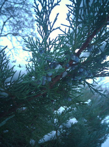 junipers Beauty In Nature Blue Branch Branches Branches And Leaves Branches And Sky Close-up Cold Temperature Coniferous Tree Day Green Green Color Juniper Nature Nature No People Outdoors Pine Tree Sky Snow Tree Winter Wood