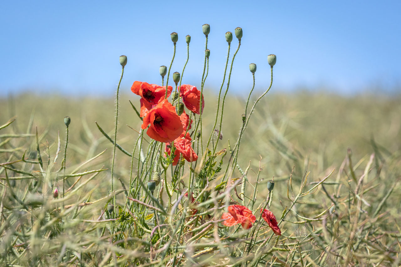 Beauty In Nature Blooming Blue Sky Close-up Day Field Field Flower Flower Head Focus On Foreground Fragility Freshness Grass Growth Nature No People Outdoors Petal Plant Poppy Red Sky Uncultivated