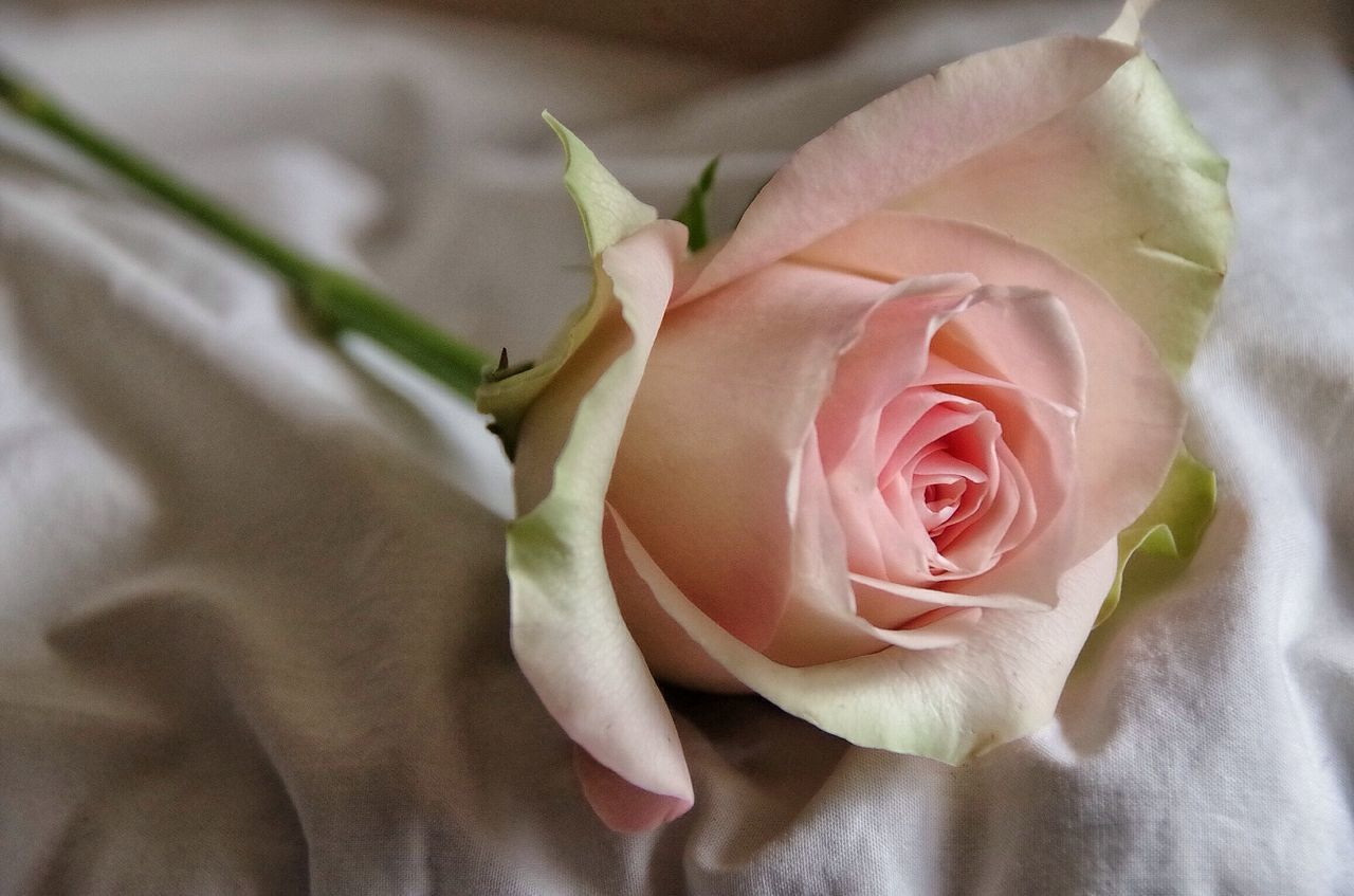 Close-Up of Pink Rose On Bed