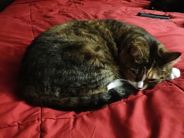 Domestic Animals Pets Domestic Cat Animal Themes One Animal Mammal Resting Relaxation Sleeping Lying Down Feline Indoors  Cat Bed No People Close-up Day Kent Ohio Missy Bed Bedroom Red