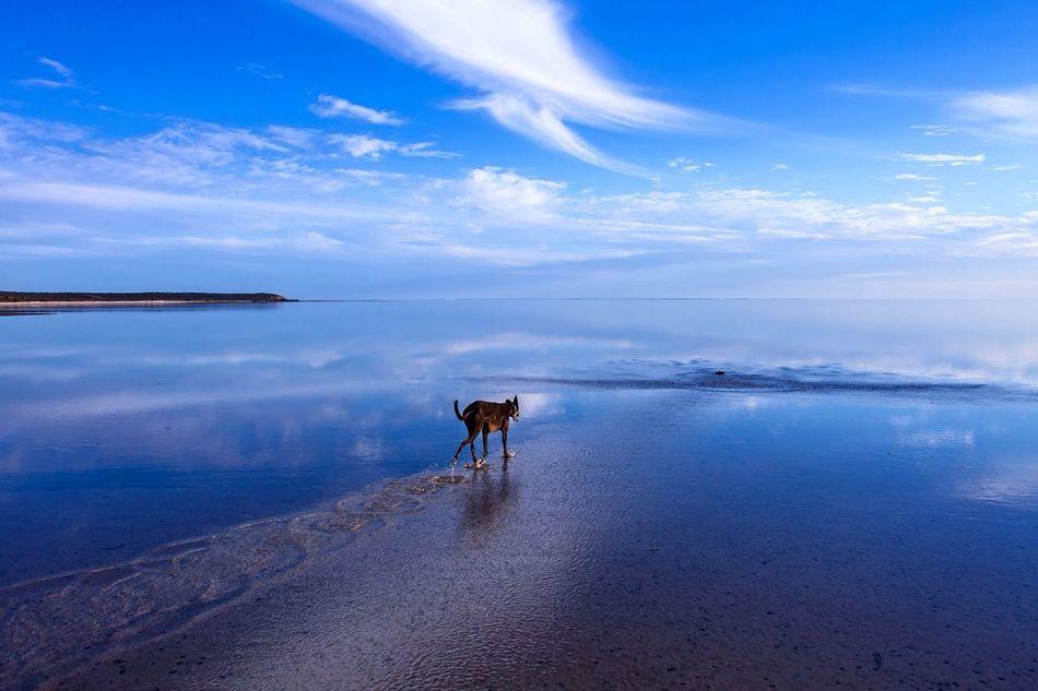 Greyhound Dog Walking Australia