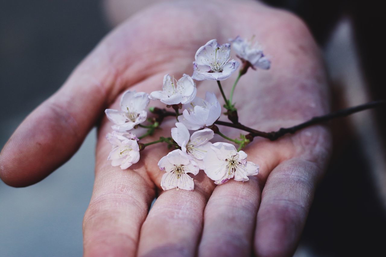 Sakura Human Hand Flower Human Body Part Holding Close-up Freshness Real People One Person Nature Fragility Flower Head Day Outdoors Beauty In Nature EyeEmNewHere From My Point Of View EyeEm Gallery Wildlife & Nature Spring Blossom Pink Flower Blooming Springtime Pink Color