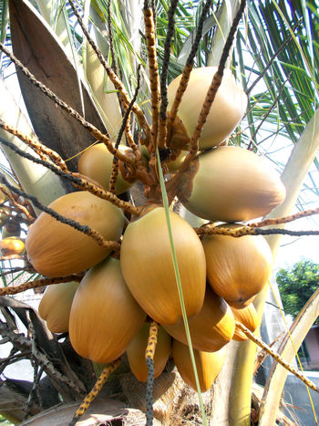 bunch of king coconut young on the tree Bunch Of Coconut Cocoanut Coconut Coconut Leaf Coconut Tree Cocos Cocos Nucifera Hanging Healthy Food Healthy Fruit Isotonic King Coconut Orange Coconut Outdoors Tree Tropical Fruit Yellow Coconut