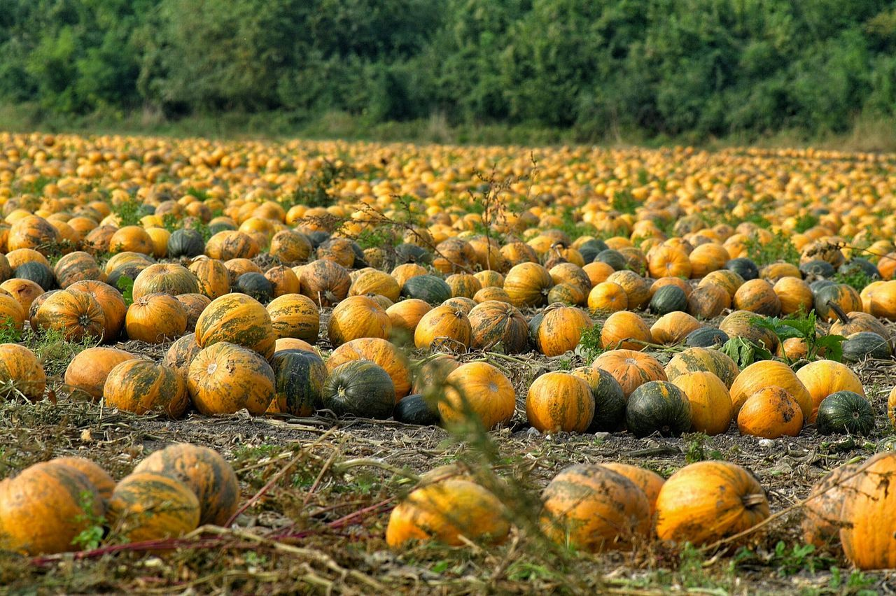 Pumpkin Field Arrangement Collection Pumpkins Agriculture Beauty In Nature Landscape Yellow Rural Scene Eyeemphoto Cultivated Land Hello World Baden Austria EyeEm Gallery Experience Nature EyeEm Nature Lover Eyeem4photography Autumn Collection Silence Moment Orange Color EyeEm Masterclass Pumpkin Blossom Golden Moment Enjoy The View In A Row