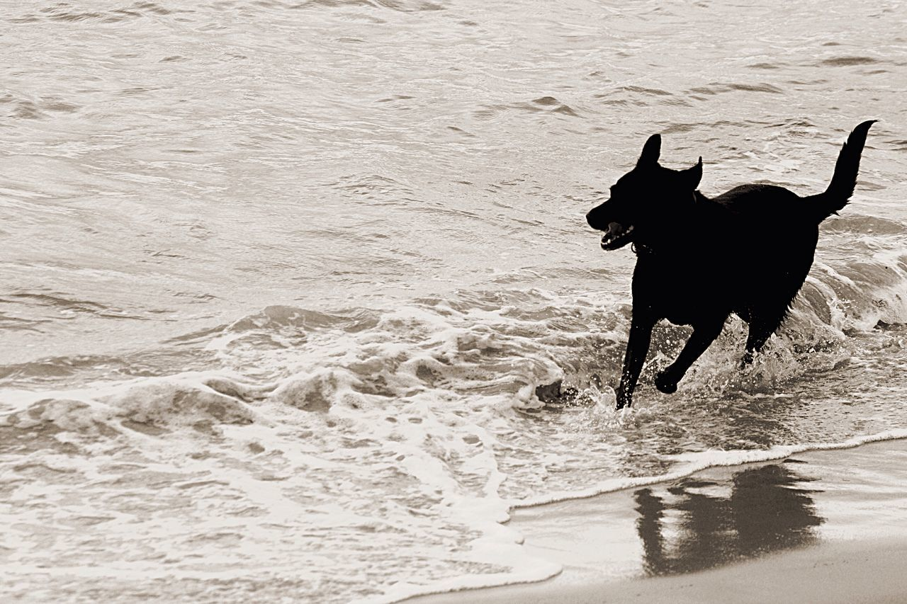 Black dog beach play Dog❤ Dog Days Dog Playing With Tides Dog Beach Waves Beach