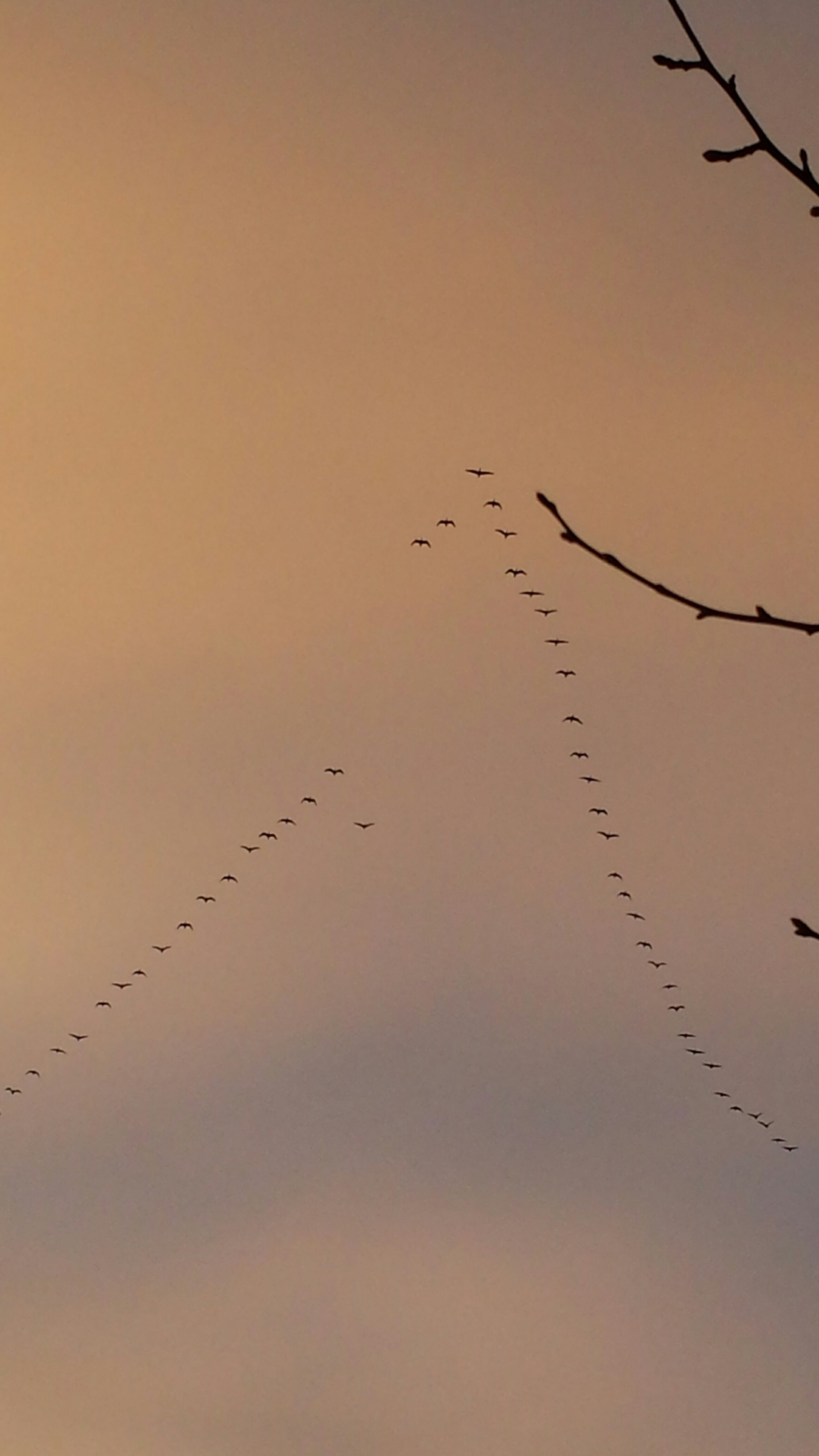 bird, animal themes, animals in the wild, flying, wildlife, flock of birds, silhouette, low angle view, sunset, sky, nature, clear sky, beauty in nature, outdoors, spread wings, medium group of animals, no people, mid-air, perching