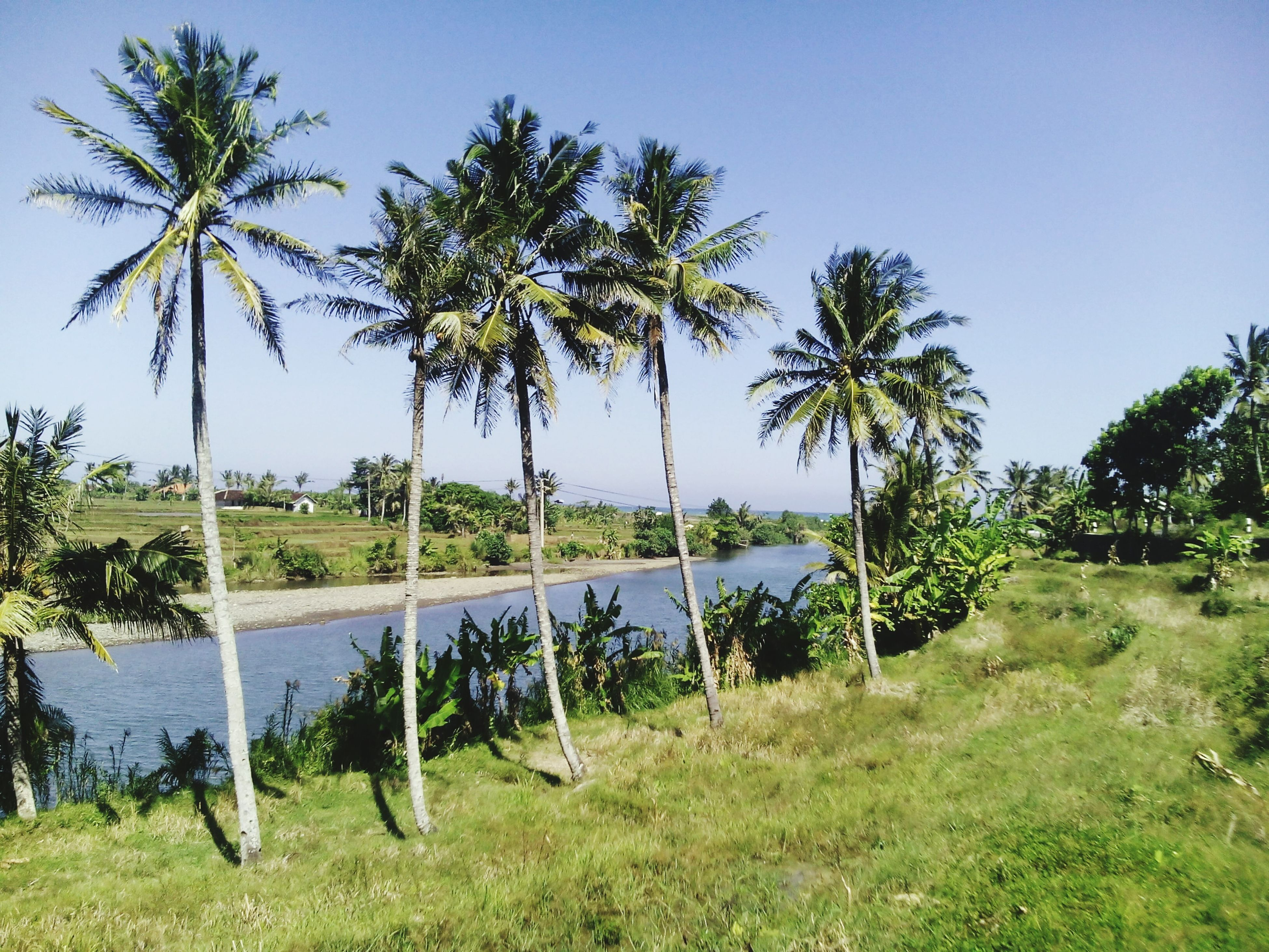 tree, palm tree, water, tranquility, grass, tranquil scene, growth, clear sky, nature, scenics, beauty in nature, green color, sea, sky, tree trunk, plant, idyllic, day, beach, sunlight