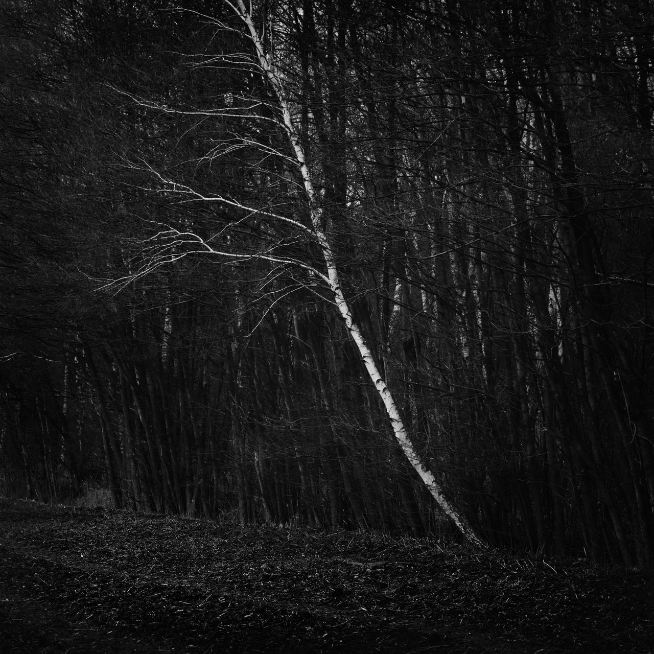 single birch tree in a forest Bare Tree Beauty In Nature Beauty In Nature Birch Birch Tree Black And White Brandenburg Contrast Deep Shadows Forest Growth Havelland Low Angle View Monochrome Nature Nature Night No People Outdoors Philipp Dase Sky Tree