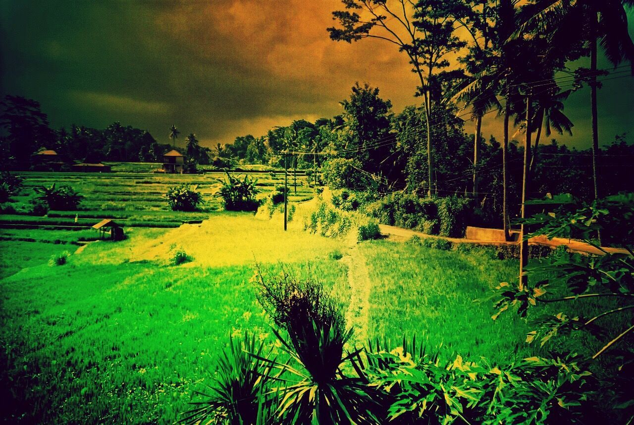 tree, grass, landscape, nature, holiday, no people, beauty in nature, outdoors, scenics, forest, sky, golf course, day