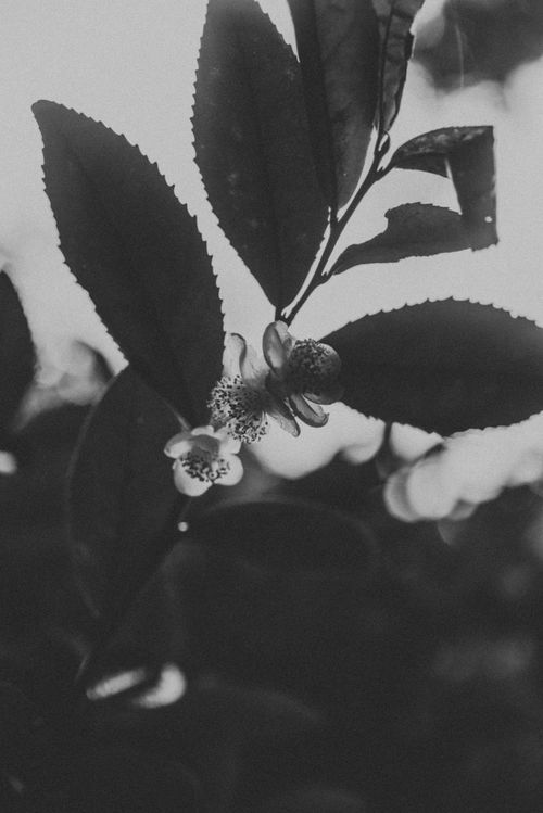 Beauty in nature Monochrome Photography Nature Growth Close-up Beauty In Nature Flower Head Traveling Boseong South Korea EyeEm Nature Lover Greentea