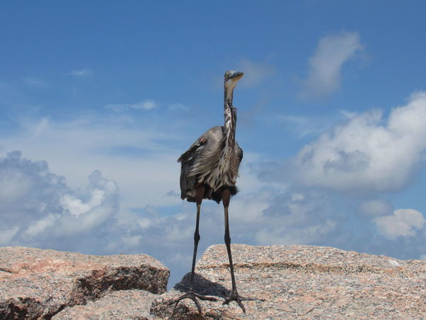 The Tri-Colored Blue Heron Animal Themes Animals In The Wild Big Bird Blue And White Sky Clouds And Sky Day Feathers Of A Bird Full Length Large Rocks Long Legs Low Angle View Outdoors Shadow Tranquil Scene Tranquility Wildlife Zoology