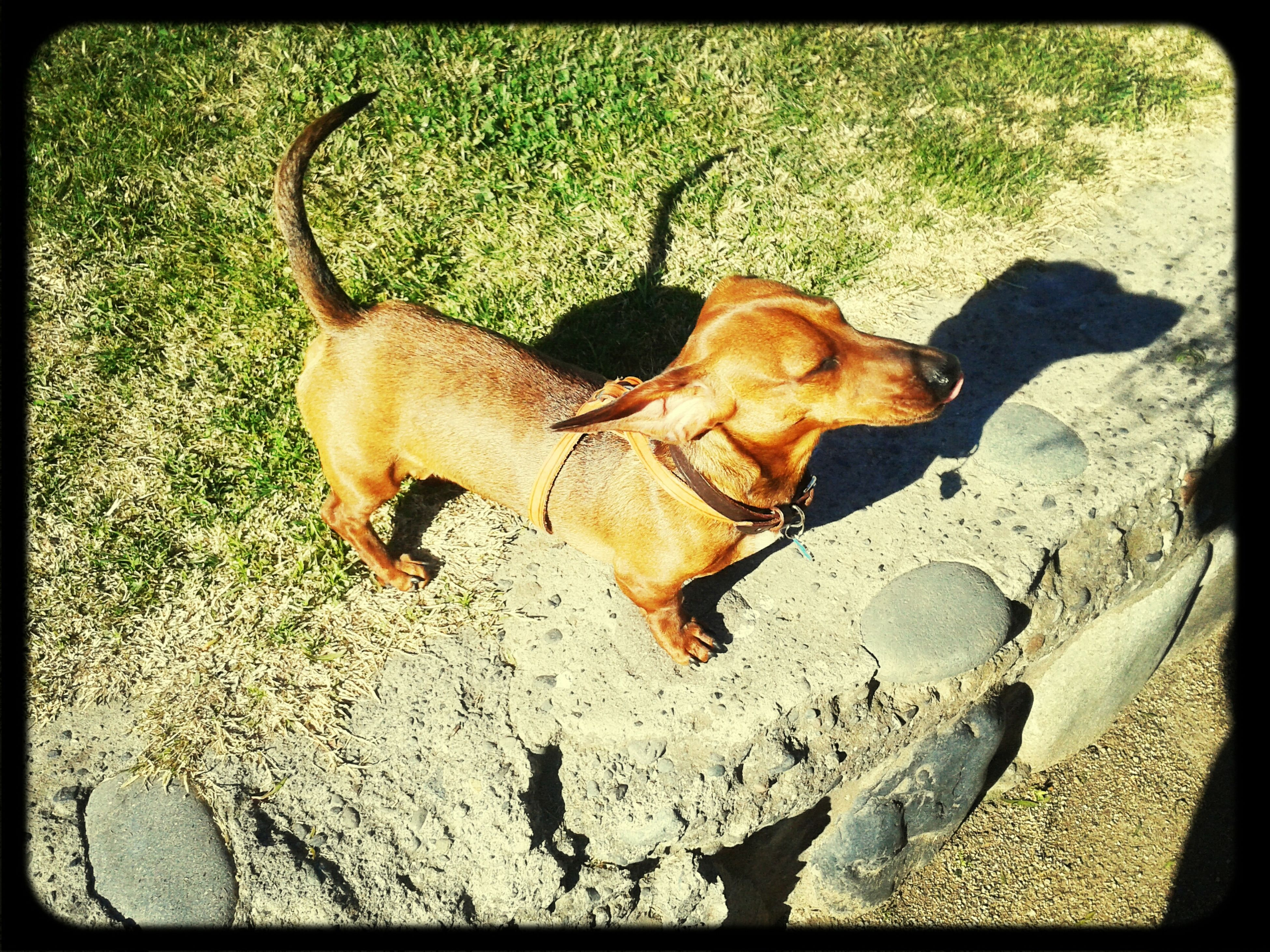 transfer print, auto post production filter, high angle view, outdoors, day, sunlight, mammal, animal themes, domestic animals, field, standing, dog, shadow, no people, street, rock - object, one animal, nature, full length, stone - object