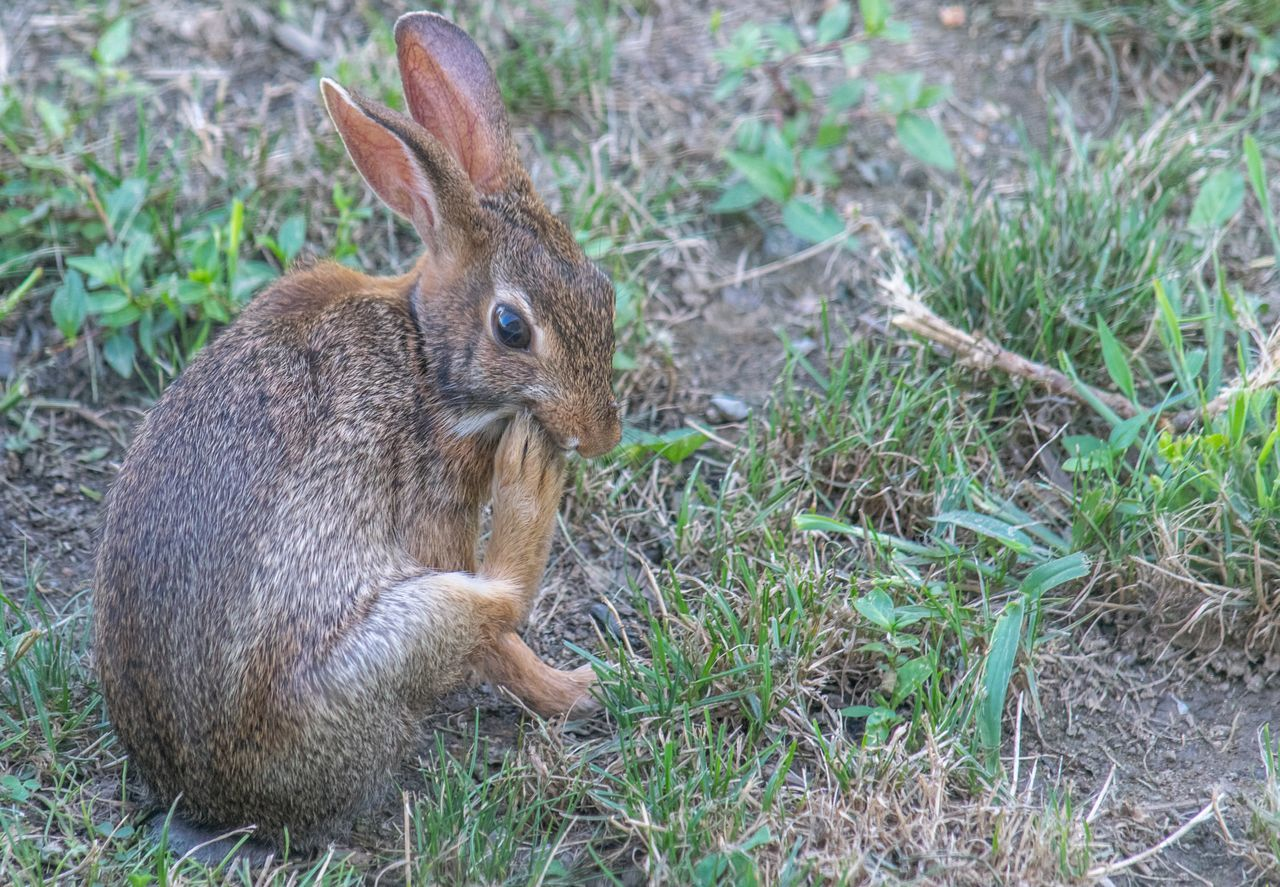 This cute rabbit was enjoying in my backyard!!!Cuteness Rabbit Backyard Cute Animals Nature Animals In The Wild Wildlife & Nature Awesome Nature