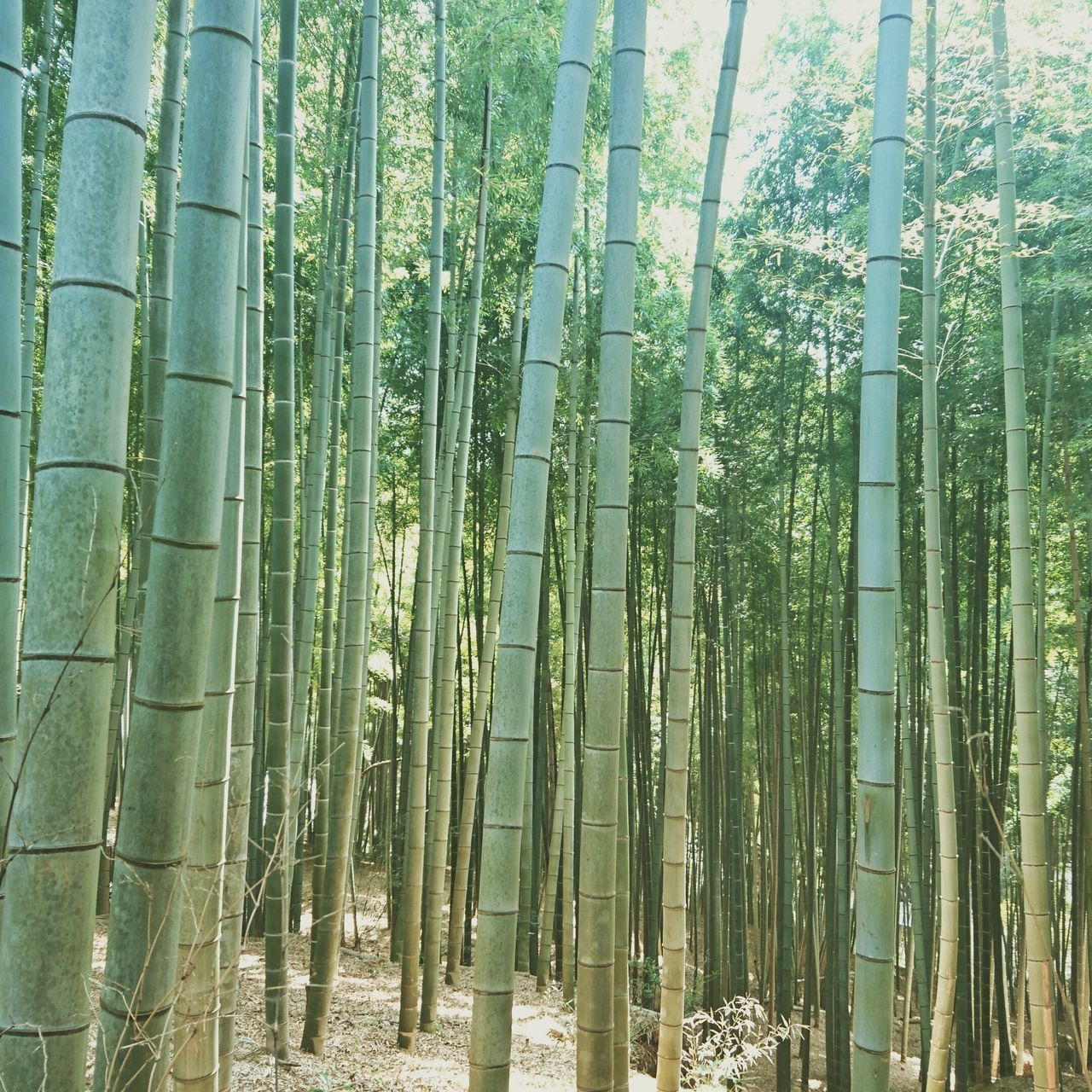 Kyoto Kyoto, Japan Nature Green Color Growth Bamboo - Plant Tree Bamboo Grove Beauty In Nature No People Backgrounds Outdoors Day Plant Scenics Freshness Bamboo Forest Kyoto City Nature Nature_collection