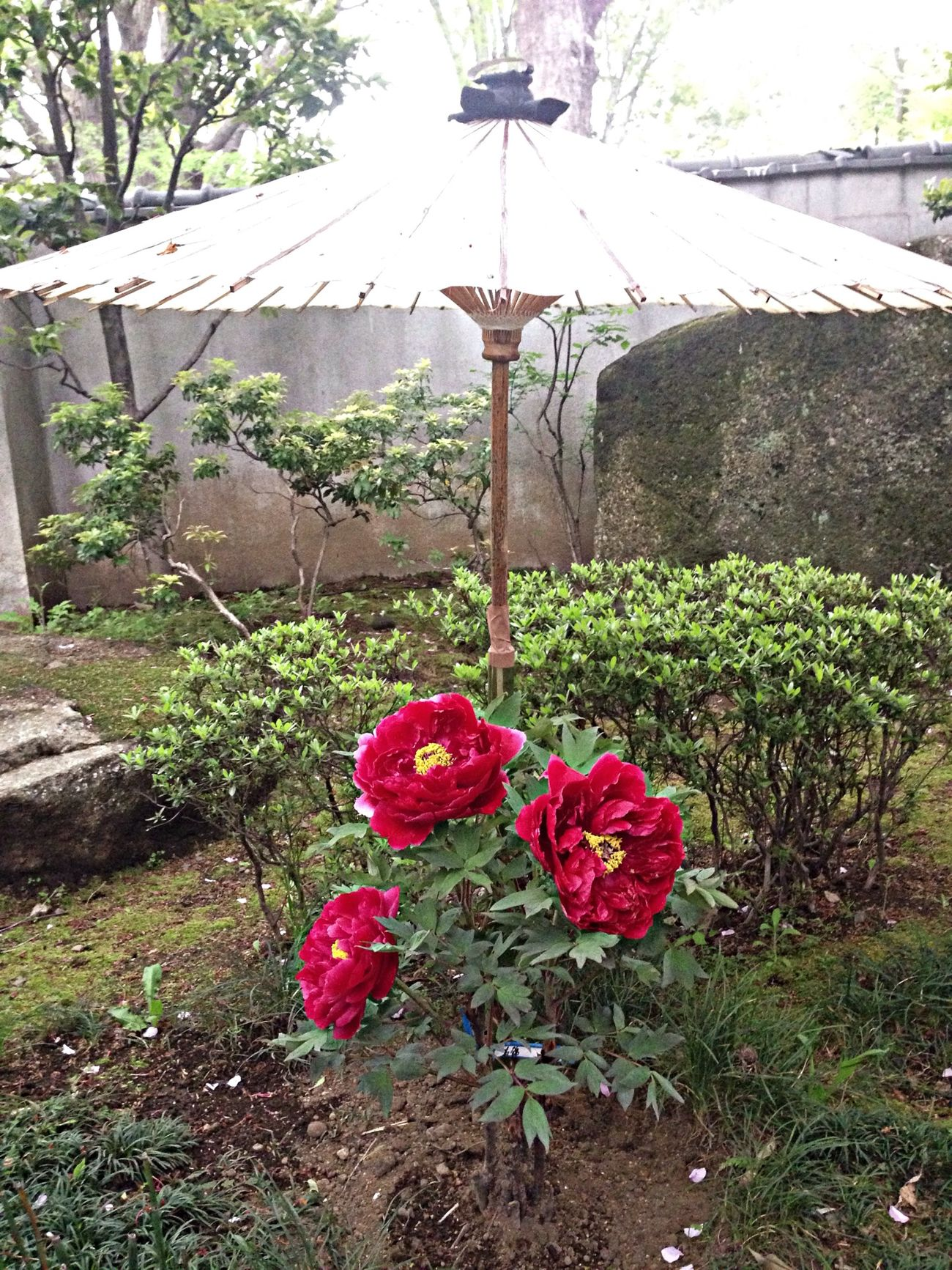 Under my umbrella Japanism Botan