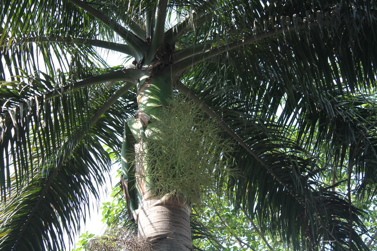 Coconute tree view from ground Beauty In Nature Branch Branches And Leaves Coconut Palm Tree Day Green Color Growth Low Angle View Nature Nature No People Outdoors Palm Tree Paris Patterns In Nature Shapes And Forms Tree Tree Tree Patterns Up Close