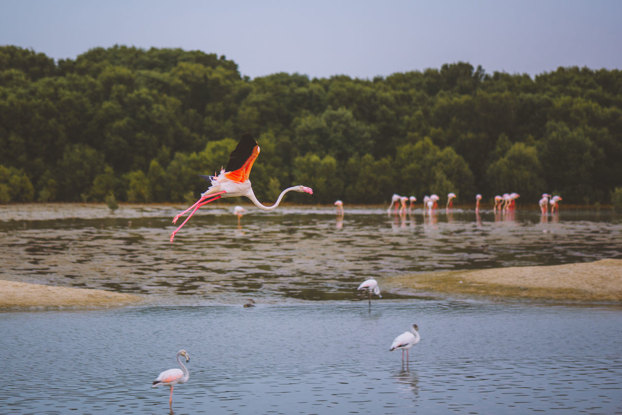 Animal Animal Themes Animal Wildlife Animals In The Wild Bird Day Dubai Flamingo Flamingo Flying Mammal Multi Colored Nature No People Outdoors River Scenics Sky Tranquil Scene Travel Destinations Tree UAE United Arab Emirates Water