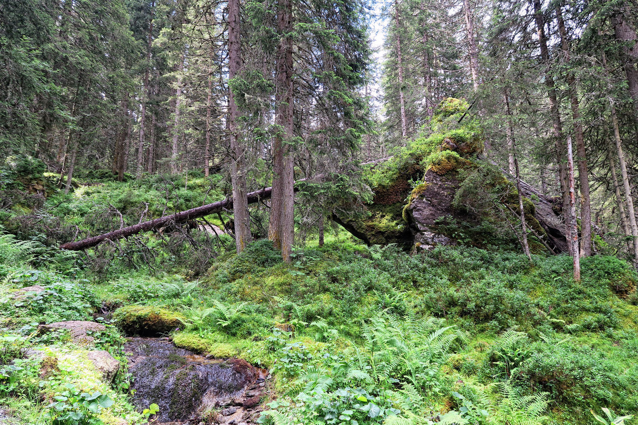 dead tree trunks in the european alps forest. Alps Alps Austria Day Deadwood  Deadwood Forrest Fern Forest Forest Photography Gerlos Growth Nature No People Outdoors Scenics Tranquil Scene Tranquility Tree Tree Trunk