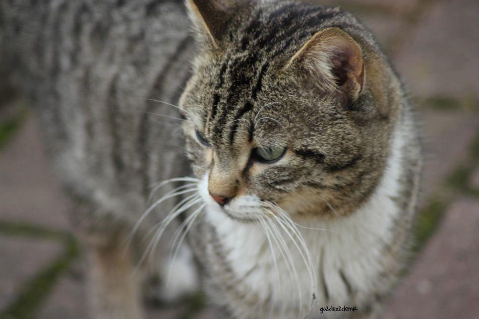 Canon Canonphotography EOS Eos550d 550d Tamron Tamron Lens Tamronlens Tamron70300 Tamron70_300mm Turkey Türkiye Animal Animals Cat Cats Hayvanlar Kediler Animallovers Animallover Nature Natural Doğa Dogal Cat Lovers