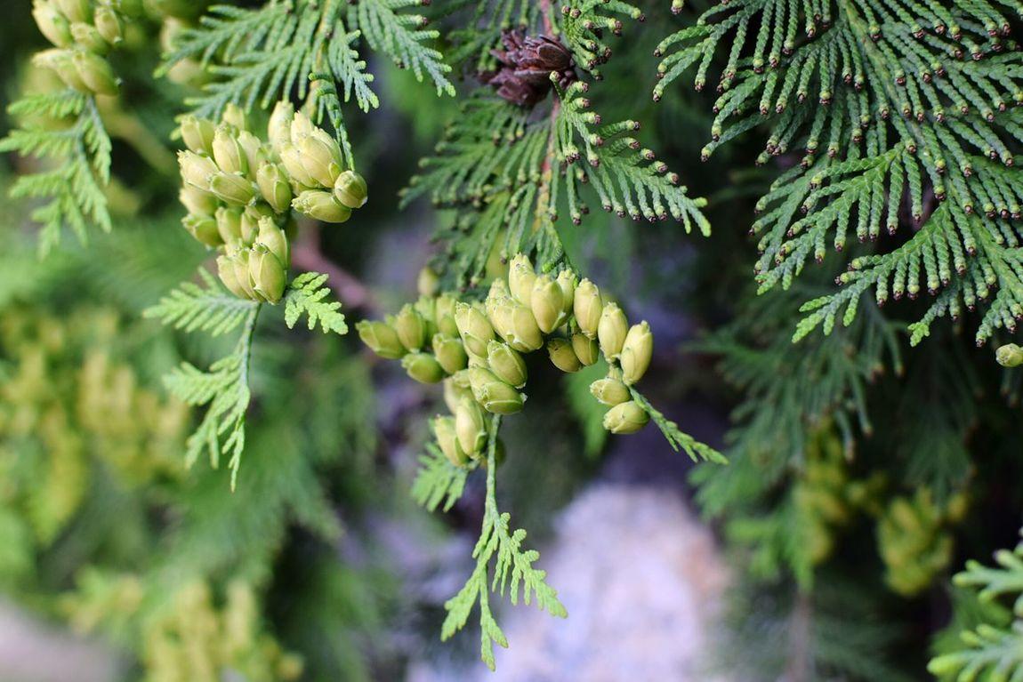Close-up Close Up Closeup Thuja Thuya Seed Seeds Cone Tree Evergreen Evergreen Trees Evergreens Nature Nature Photography EyeEm Gallery EyeEm Nature Lover