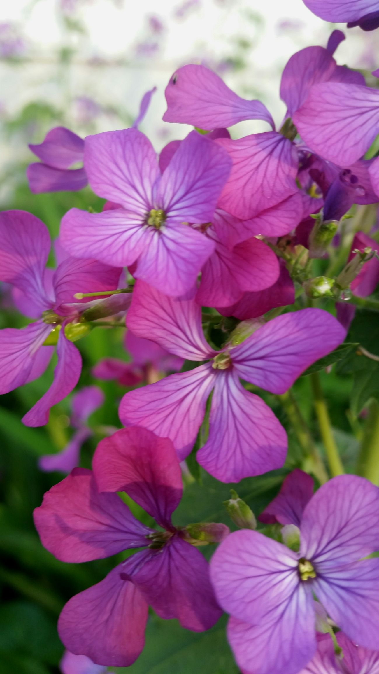 Flower Pink Color Beauty In Nature Nature Petal Fragility No People Purple FreshnessPlant Nature Growth Flower Head Springtime Plant Outdoors DayFreshness Beauty In Nature Close-up Growth Happy Makesmesmile Good Life Enjoying Life