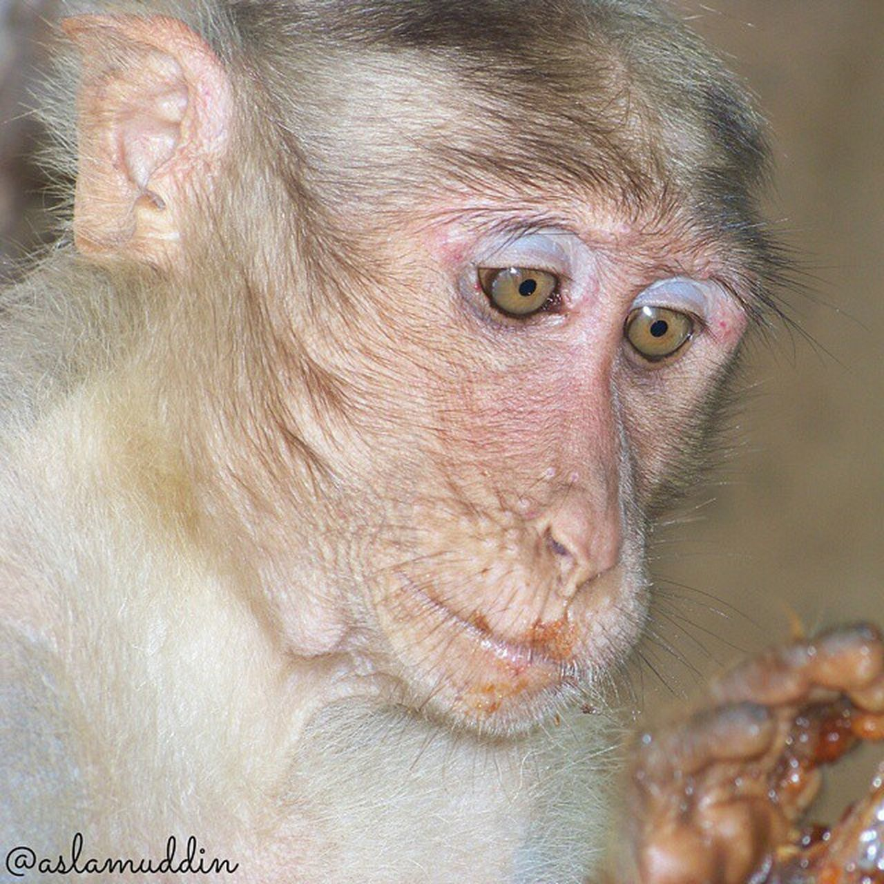 one animal, animal body part, animal wildlife, mammal, animal themes, animals in the wild, close-up, animal head, no people, monkey, nature, outdoors, day