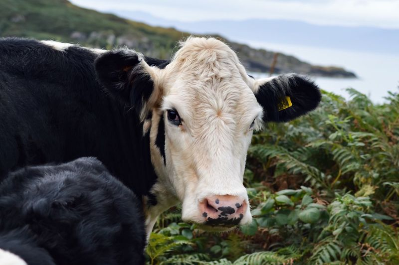 Just Another Traffic Jam In Scotland. Mammal Livestock Cow Close-up Looking At Camera Animal Farm Animal Pasture Photography Traffic Jam Country Life Country Road Free To Roam