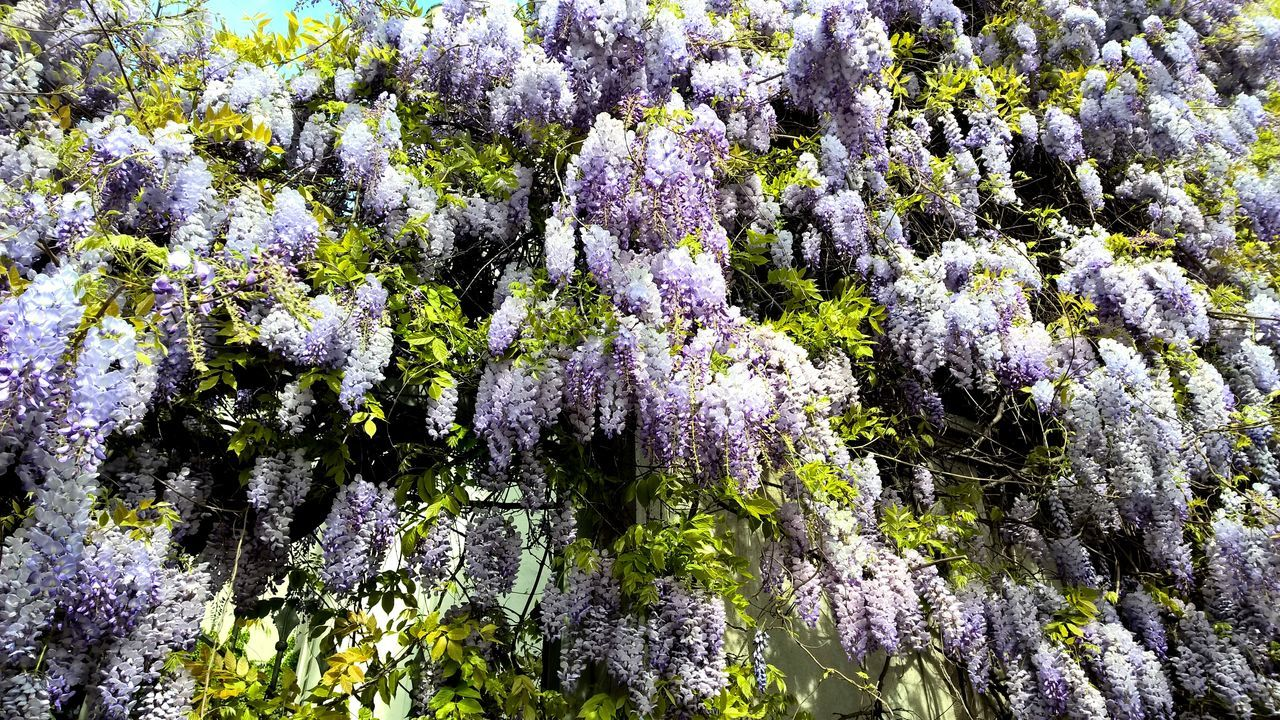 Abundance Beauty In Nature Botany Detail Flower Flower Collection Flower Photography Flower Porn Flowerlovers Flowerporn Flowers Flowers,Plants & Garden Flowers_collection Fragility Glicine Green Green Color Growing Growth Natural Pattern Nature Plant Tranquility Wisteria Wisteria Flower