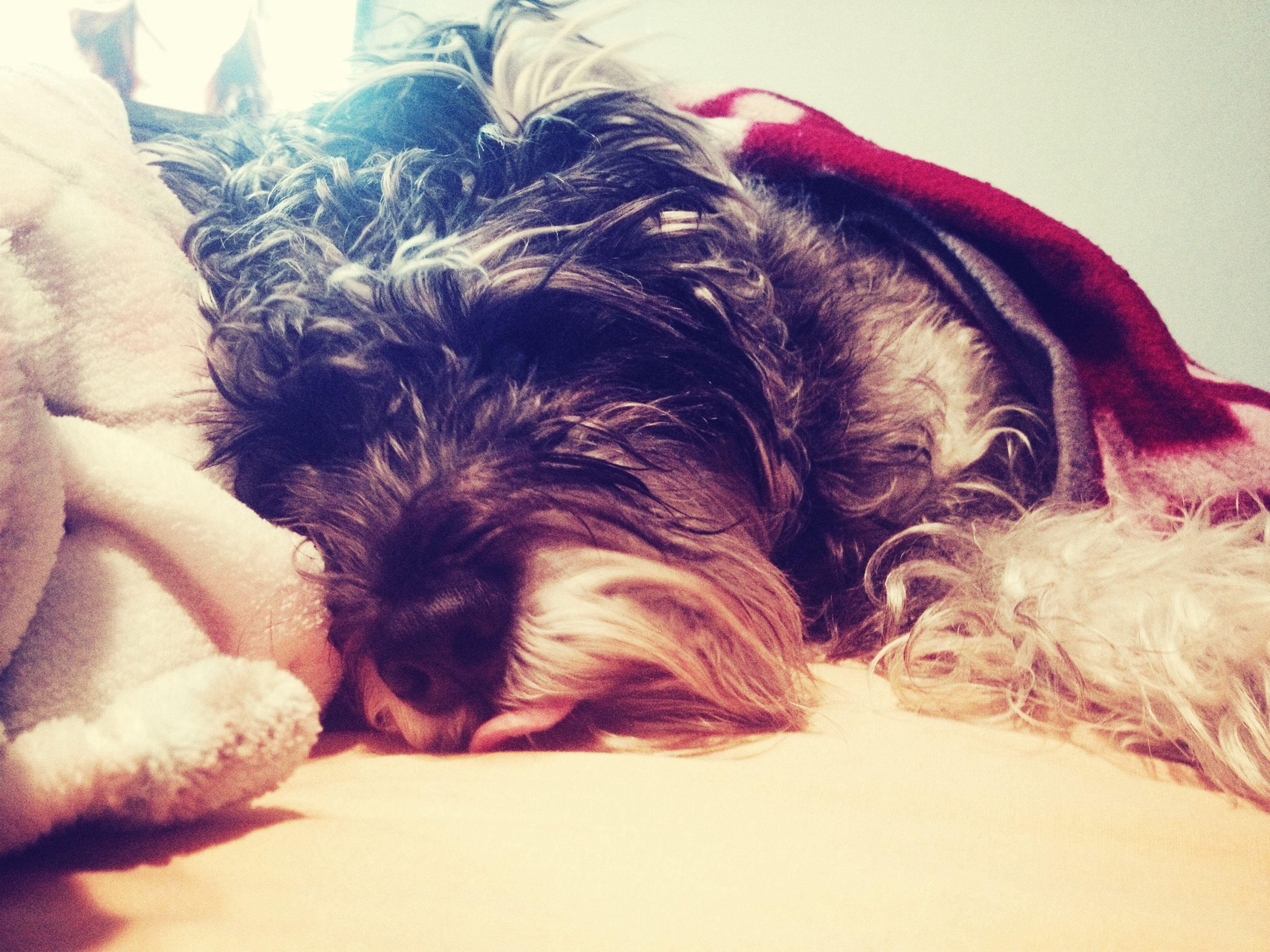 Lazy and cold day Schnauzer Dog Boy Slepping