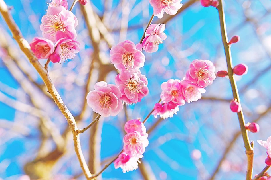 The Spring blooming Beauty In Nature Nature Flower Growth Freshness Fragility Sunlight No People Close-up Day Petal Flower Head Pink Color Outdoors Twig Branch Tree Sky Plum Blossom EyeEm Gallery EyeEm Best Shots Eeyem EyeEm Nature Lover Plum Blossom Low Angle View EyeEmNewHere