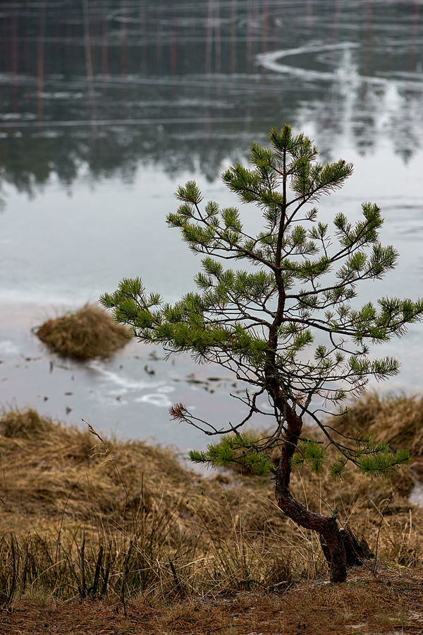 Backgrounds Beauty In Nature Close-up Day February Forest Forestry Ice Lake Latvia Nature New No People Outdoors Pine Tree Pine Woodland Reflection Reflection Lake River Smoll Tree Vertcal Water Water Reflections Wood