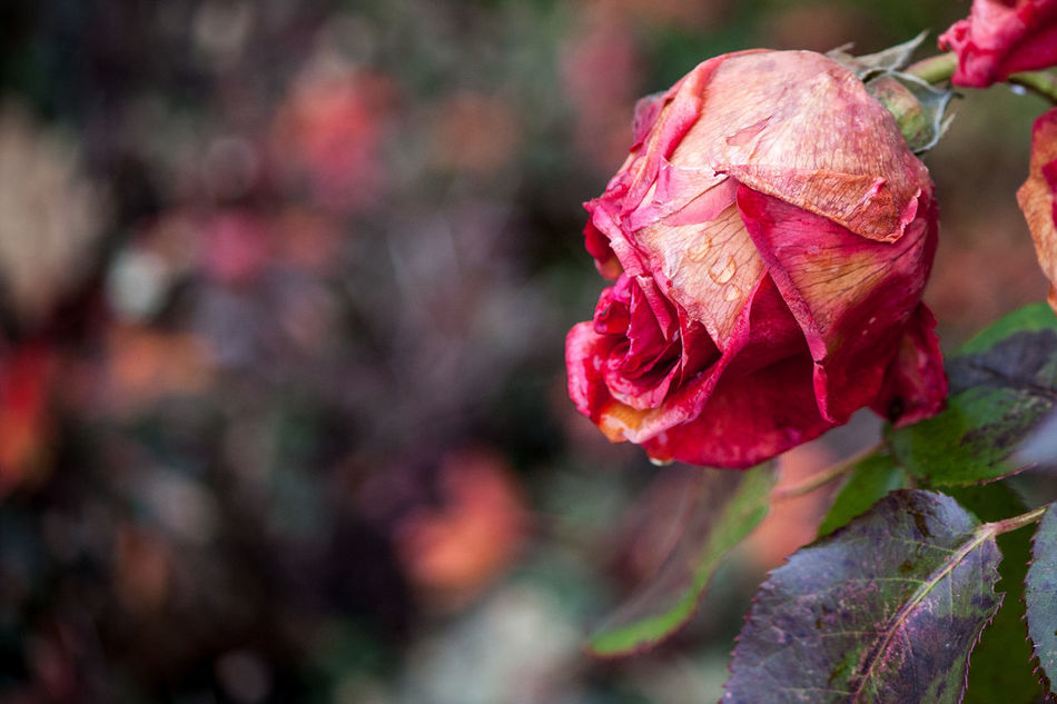 Beautiful stock photos of roses,  Day,  Death,  Decline,  Dried Flower