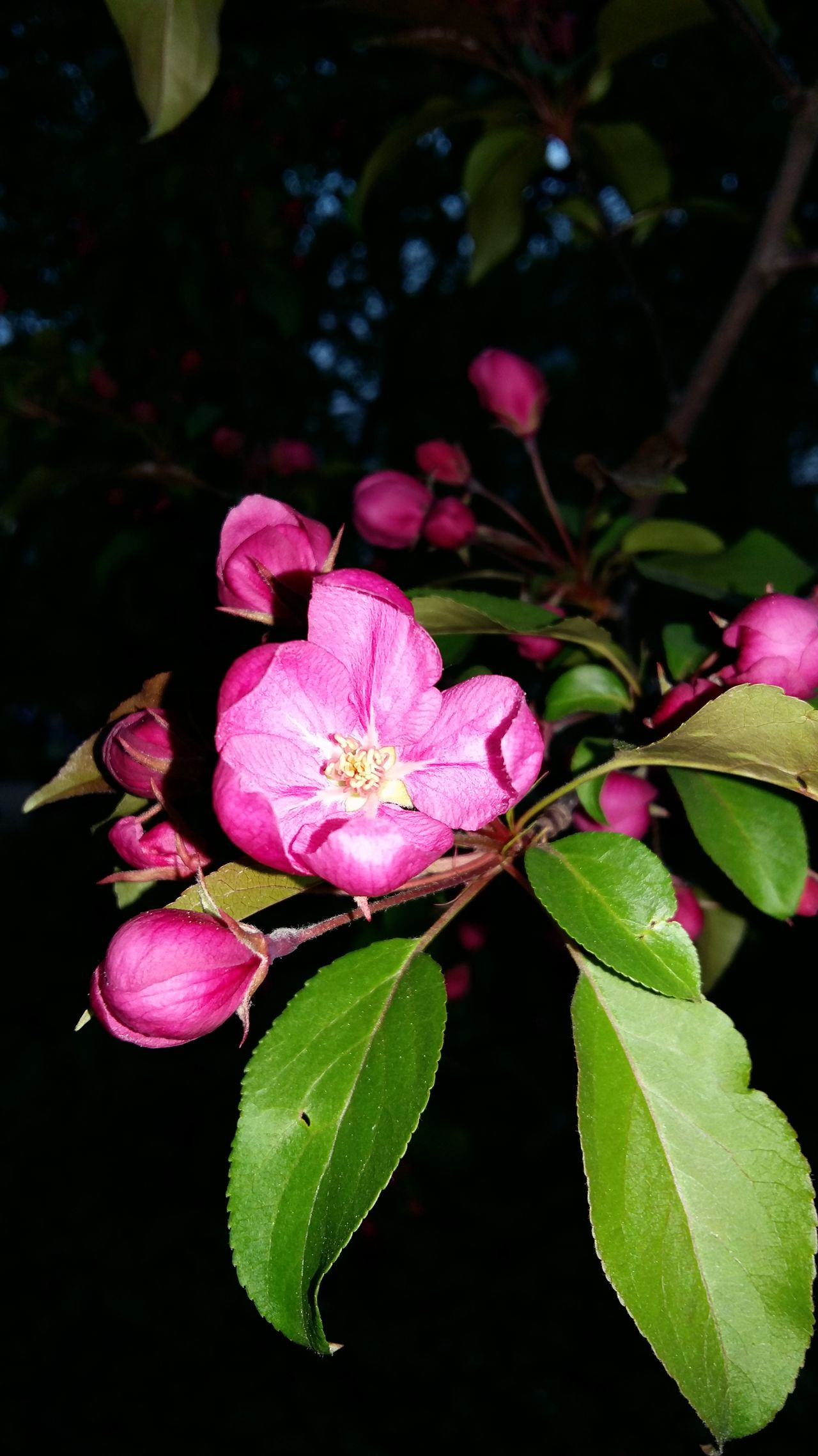 Flower Pink Color Plant Beauty In Nature Leaf Fragility Petal Nature Freshness Flower Head No People Growth Close-up Outdoors Day Blooming apple tree