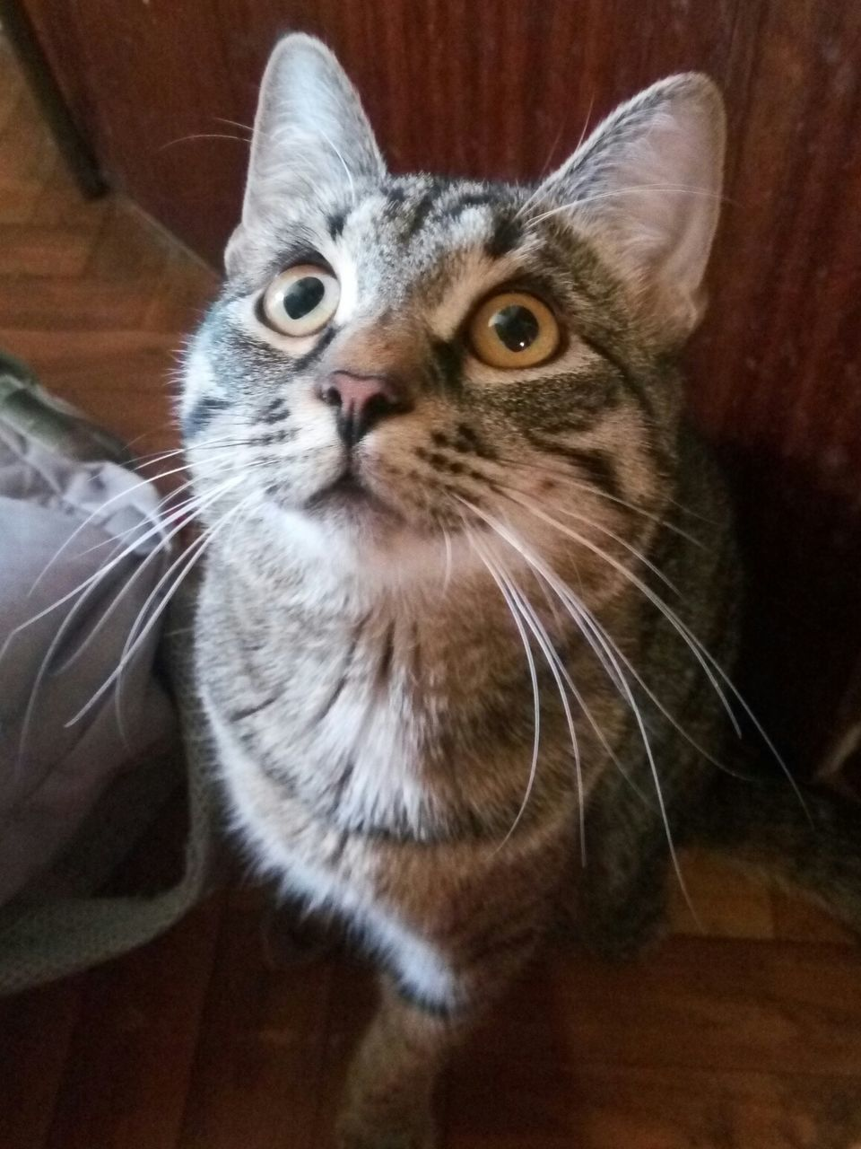 domestic cat, one animal, pets, animal themes, domestic animals, whisker, indoors, mammal, feline, looking at camera, no people, home interior, portrait, sitting, close-up, day