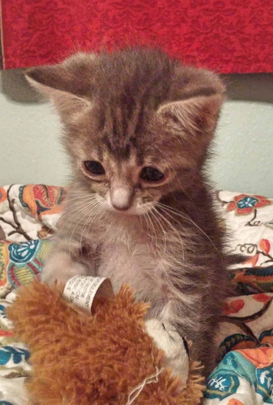 Adorable Kitten Norma Amarillo, TX Colour Of Life Home Is Where The Art Is
