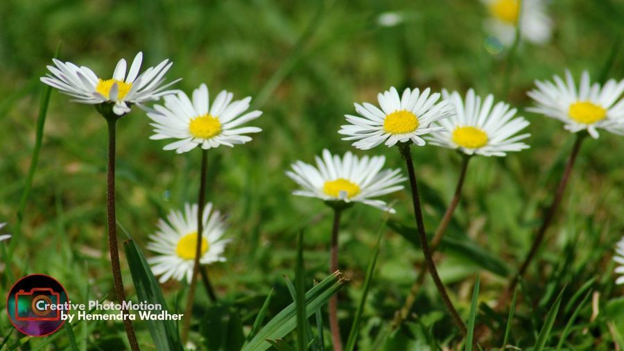 Common Daisy-'Bellis perennis ' Flower Yellow Nature Plant Petal Outdoors Beauty In Nature Tranquility Flower Head Close-up