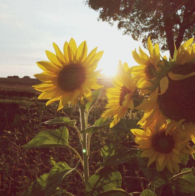Sunflower Bliss Lüneburger Heide