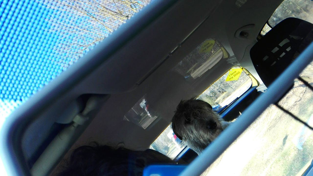 In My Car Car Transportation Car Interior Dogslife Irish Wolfhound Cearnaigh Dogs Of EyeEm Dogwalk Dog Of The Day Dogs Of Winter Winter 2017 February 2017 Domestic Animals In The Mirror