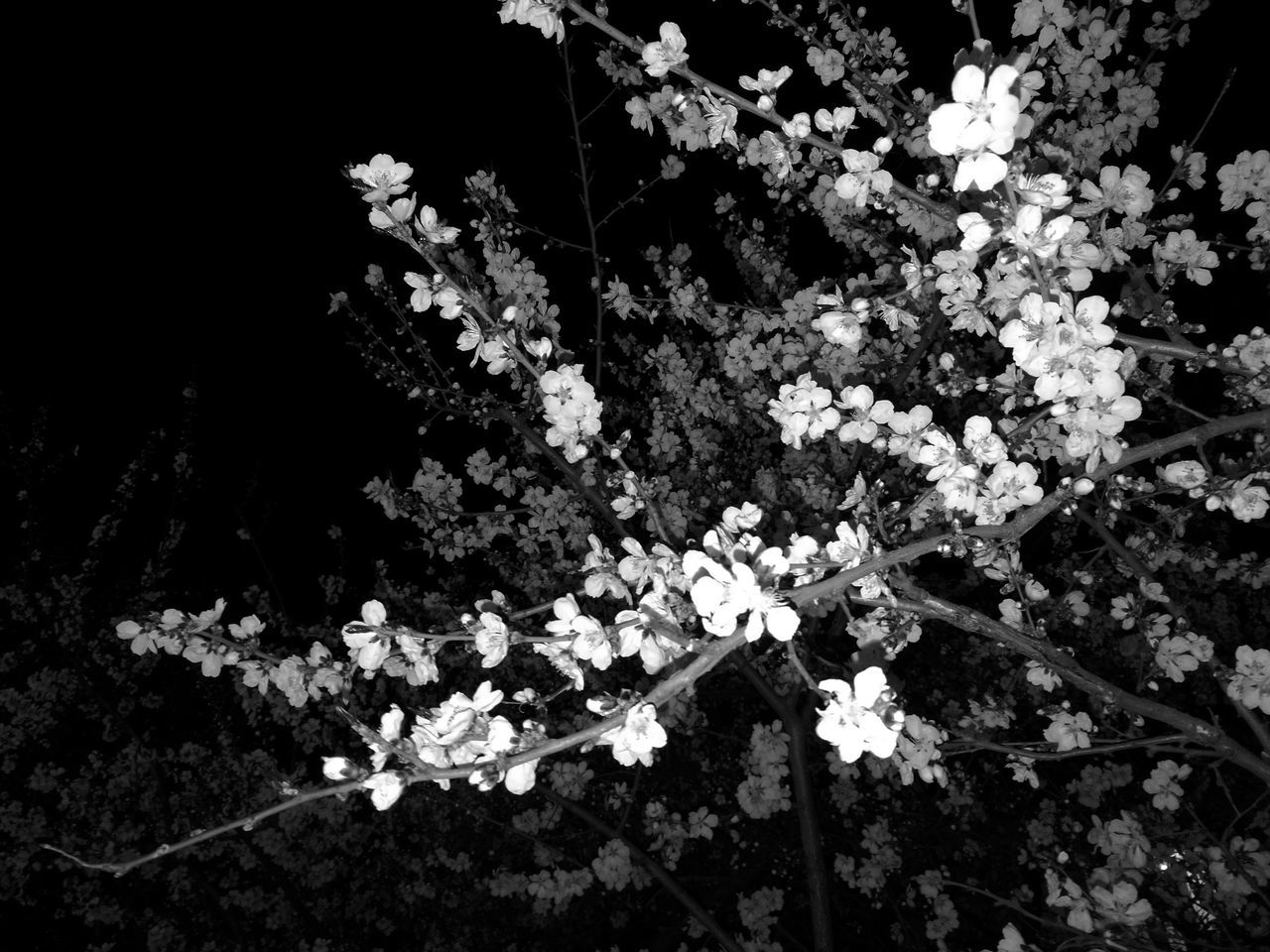 flower, blossom, growth, fragility, nature, beauty in nature, freshness, botany, petal, no people, white color, blooming, day, spring, outdoors, springtime, plant, branch, tree, flower head, close-up