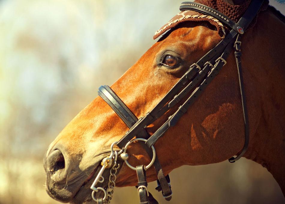 Competition Horse Portrait Sportive