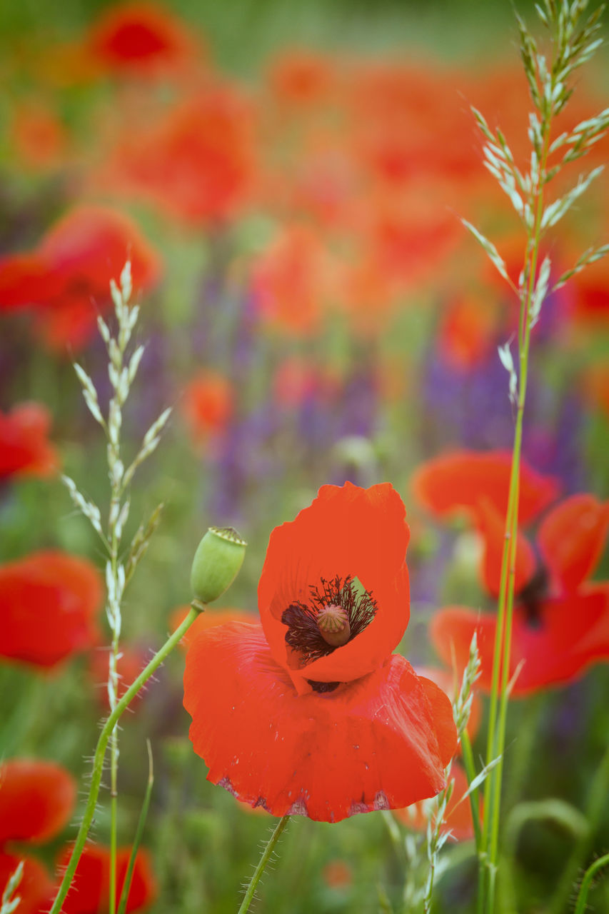 growth, plant, nature, poppy, flower, beauty in nature, red, fragility, no people, freshness, outdoors, petal, close-up, day, leaf, flower head, blooming