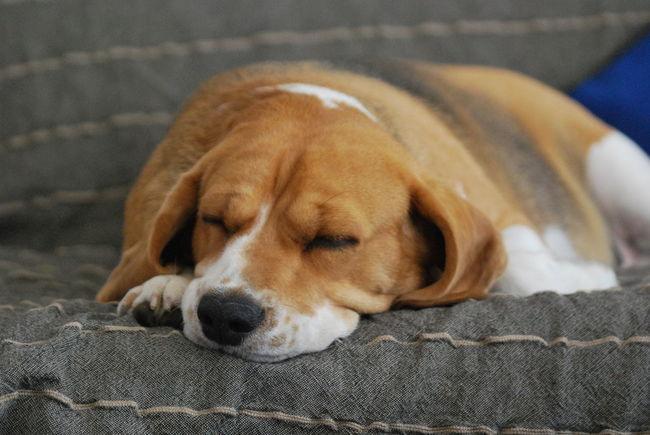 One Animal Animal Themes Domestic Animals Dog Pets Sleeping Indoors  Animal Loyalty Beagle Beaglelove Mycutedog Mira❤