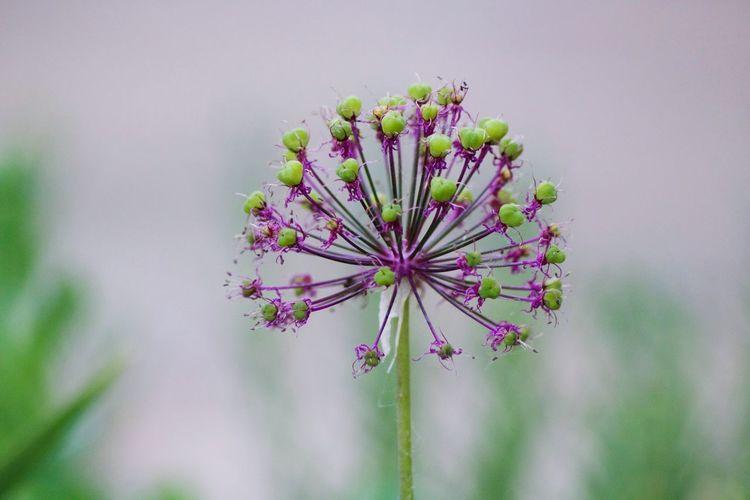 Allium Flower Flower Beauty In Nature Growth Outdoors Freshness Flower Head Focus On Foreground Purple